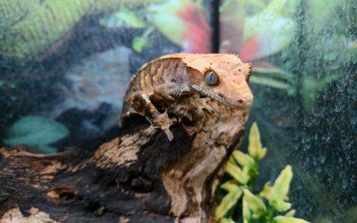 Painted Reptile | Leopard Geckos